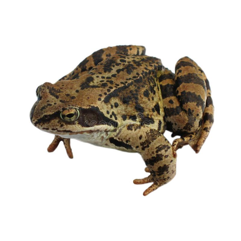 Brown Frog isolated. On the white stock images