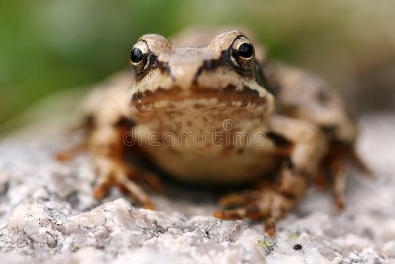 Brown frog Rana temporaria stock photography