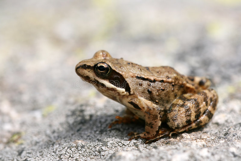 Brown frog Rana temporaria stock photo