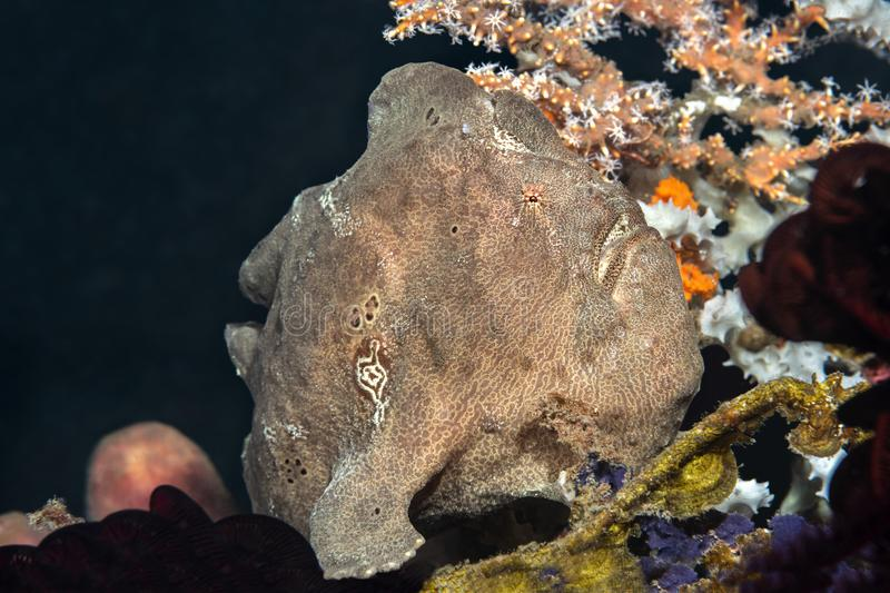 Brown Frogfish on Reef stock images