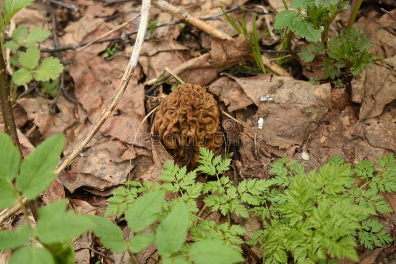 Brown, froissé, champignon dans le feuillage sec près des plantes vertes image libre de droits