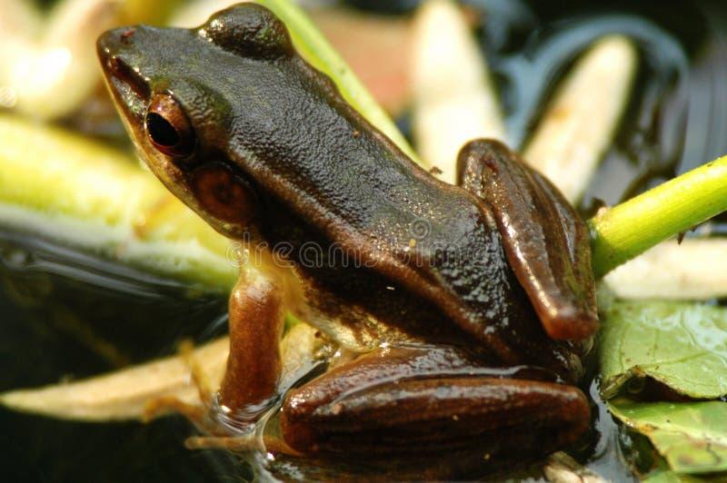 Brown-Frosch im Teich (rückseitige Ansicht) lizenzfreies stockfoto