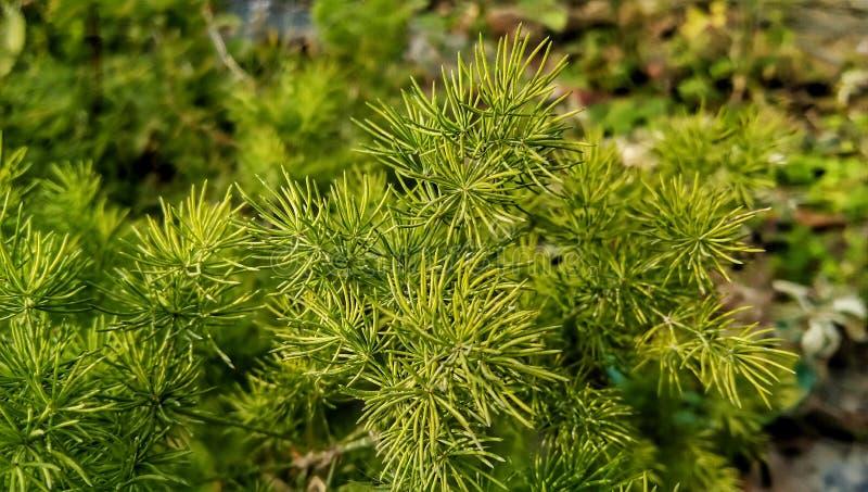 Brown-fruited Juniper Juniperus oxycedrus green leaves plant royalty free stock images