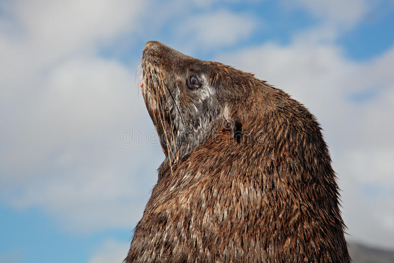 Download Brown fur seal stock photo. Image of coastal, head, predator - 24002876