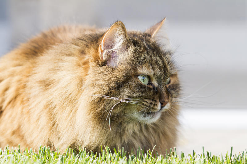 brown furry cat of siberian breed in the garden on the grass green stock photo