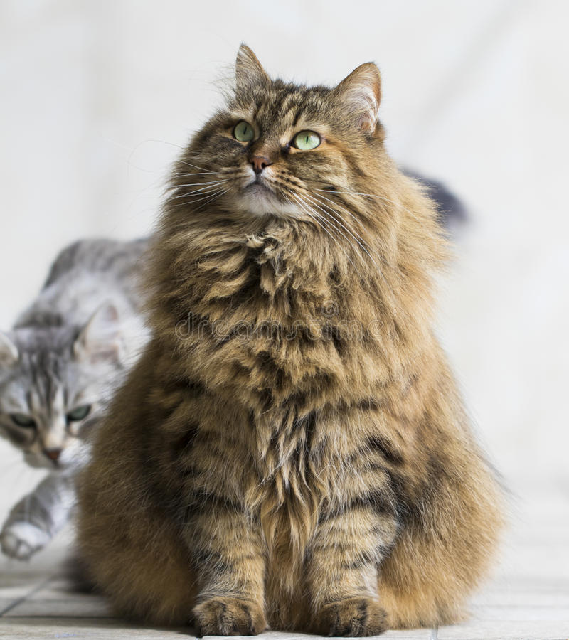 Brown furry cat of siberian breed in the garden royalty free stock photography