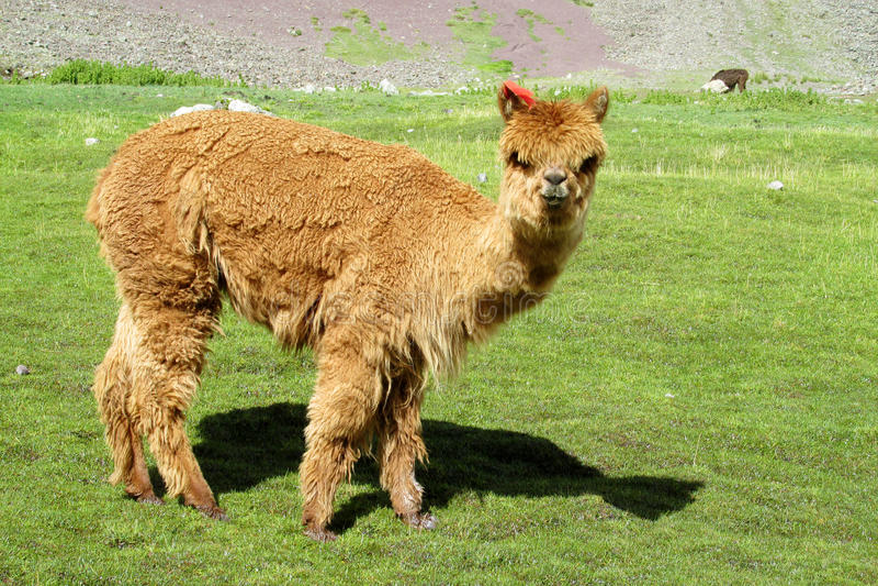 Brown furry domesticated small baby alpaca stock photos