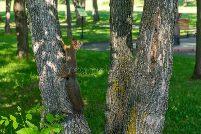 Brown furry squirrel eats and looks wary straight. Brown furry squirrel clinging on a tree and watch carefully with apprehension royalty free stock photo