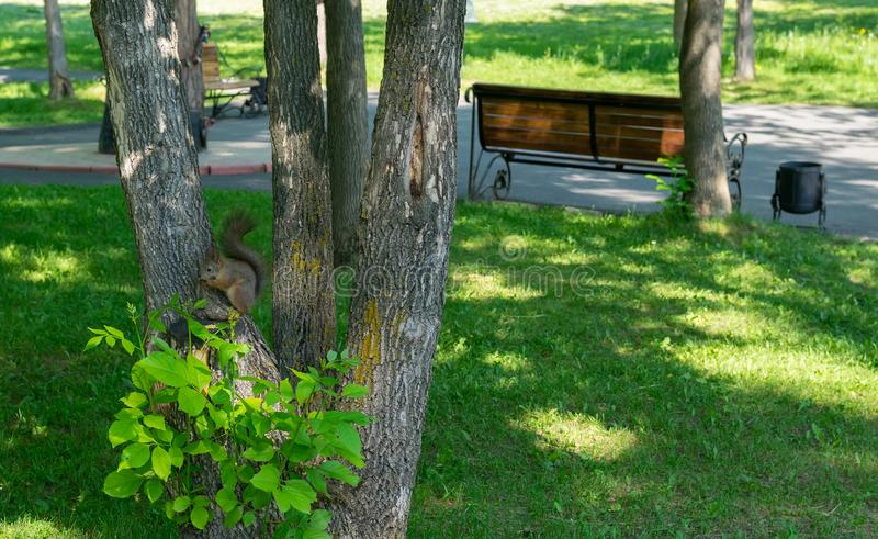 Brown furry squirrel eats and looks wary straight. Brown furry squirrel clinging on a tree and watch carefully with apprehension royalty free stock image