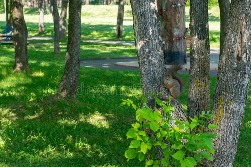 Brown furry squirrel eats and looks wary straight. Brown furry squirrel clinging on a tree and watch carefully with apprehension stock photos