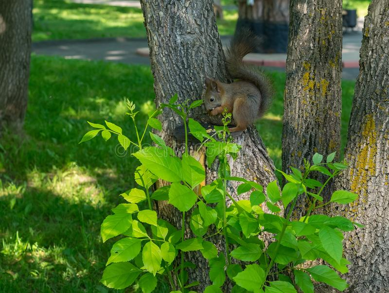 Brown furry squirrel eats and looks wary straight. At the camera royalty free stock images