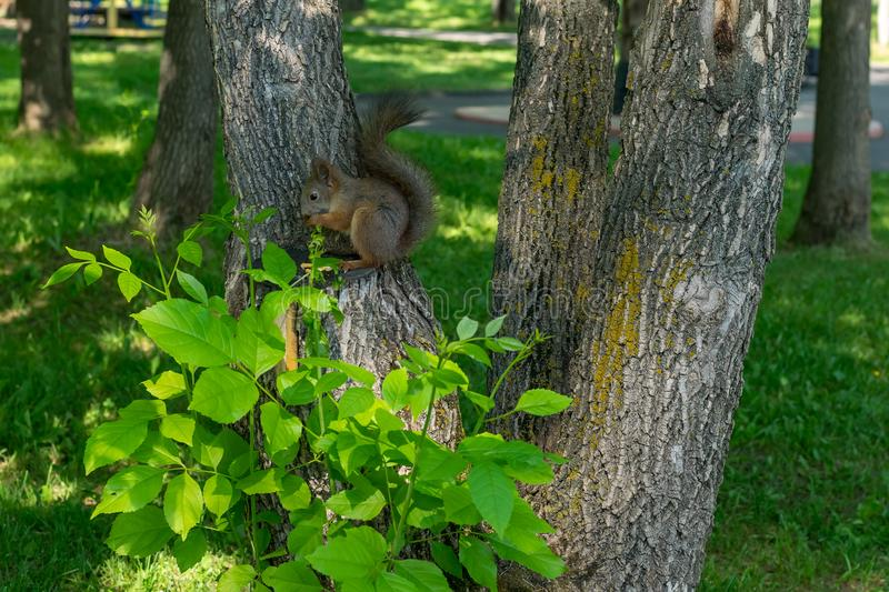 Brown furry squirrel eats and looks wary straight. At the camera royalty free stock photography