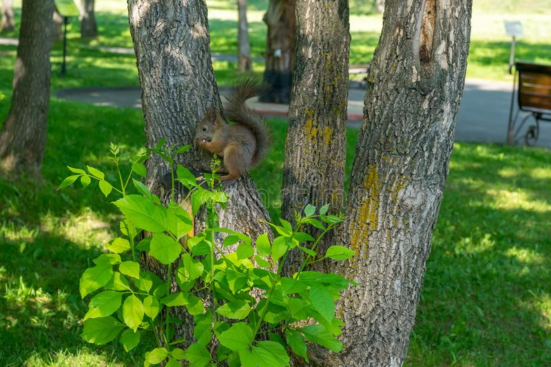 Brown furry squirrel eats and looks wary straight. At the camera stock photography
