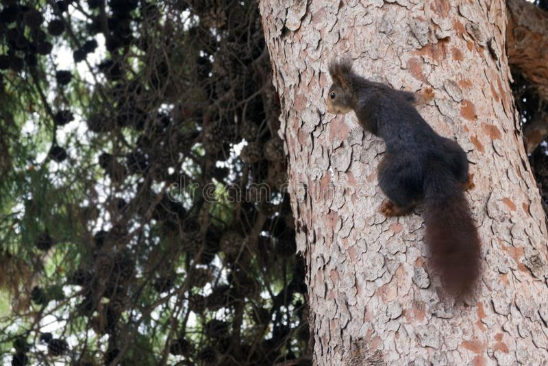 A brown furry squirrel sits on a large pine tree in a park. Cute rodent stock photography