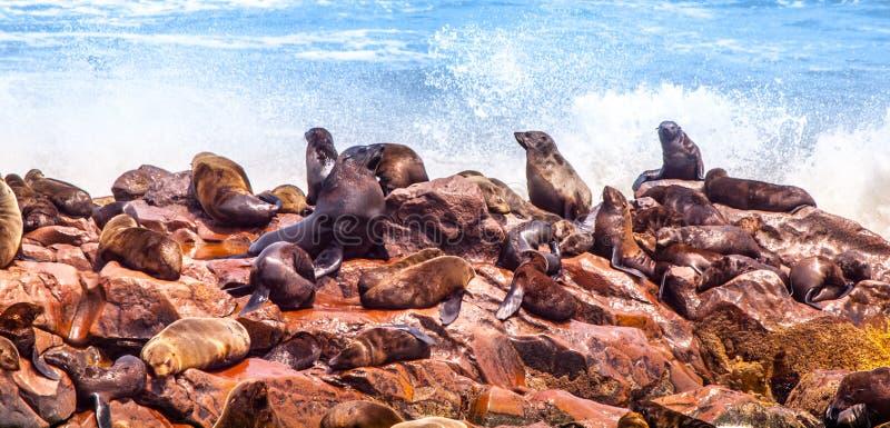 Brown futerkowa foka, Arctocephalus pusillus, kolonia przy przylądka krzyżem w Namibia, Afryka obrazy royalty free
