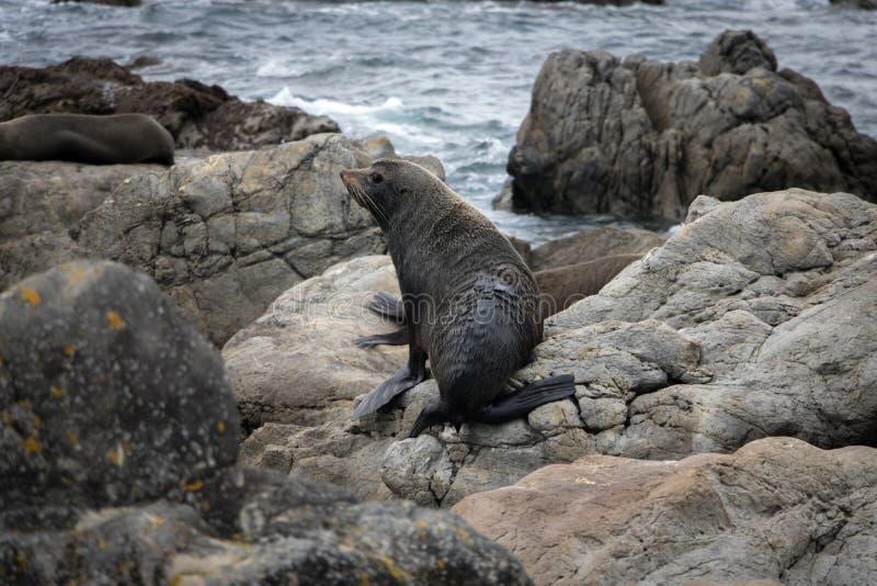 Brown Futerkowa foka, Wainuiomata wybrzeże, Nowa Zelandia zdjęcie royalty free