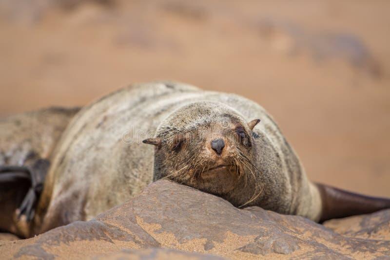 Brown futerkowej foki Arctocephalus pusillus fotografia royalty free