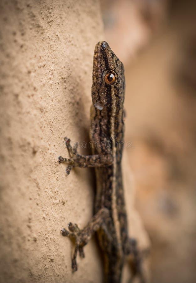 Brown-Gecko, der eine Wand klettert stockbilder