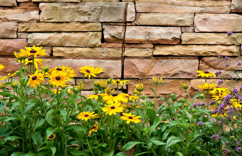 Brown-gemustertes Susans durch Steinwand stockfoto