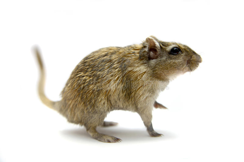 Brown gerbil obraz royalty free