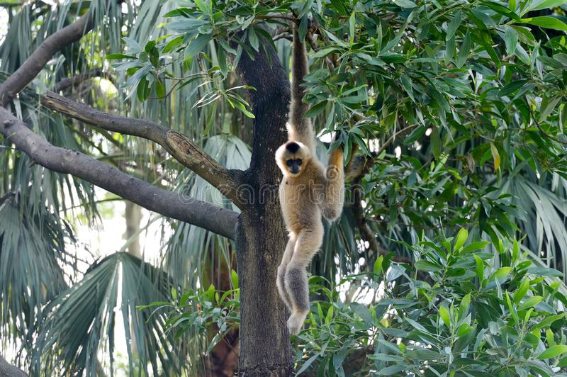 Brown Gibbon hang on the tree royalty free stock photos