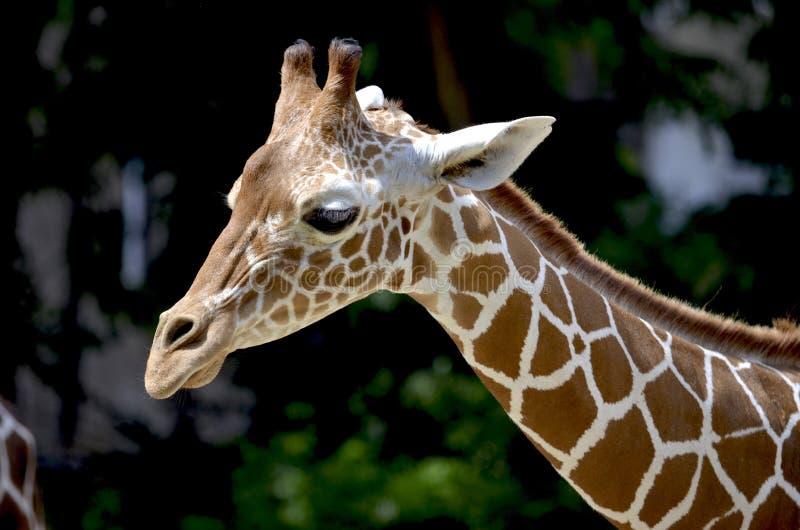 Brown Giraffe during Daytime royalty free stock photos