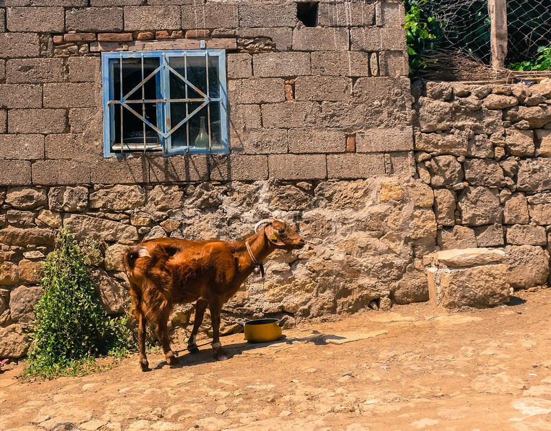 Brown goat drinking water in front of a stone house stock image
