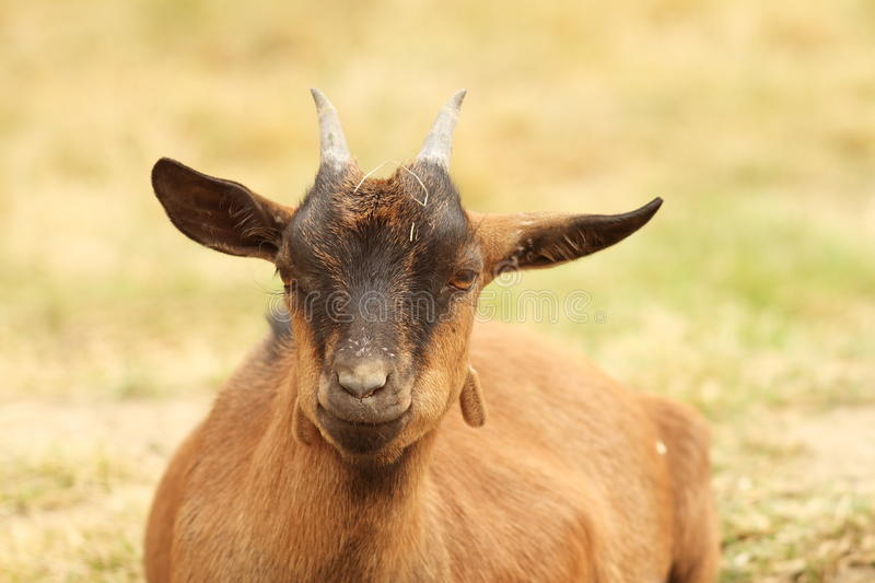 Download Brown goat laying down stock image. Image of country - 33457007