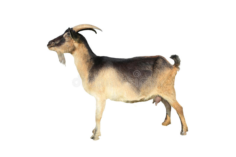 Brown goat royalty free stock photography