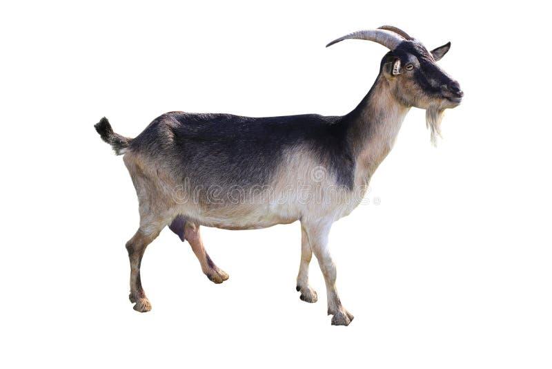 Brown goat stock image