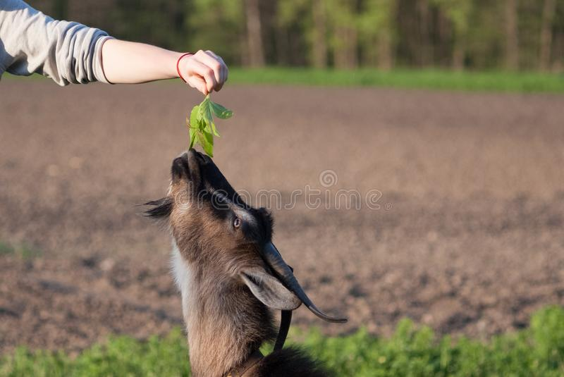 Brown goats eat grass from the hands of a girl on a summer sunny day stock photo