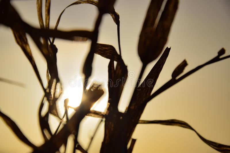 Brown and golden details of a plant or reed in front of the golden sky in the evening during sunset. Golden colored background for relaxing and wellness scenes royalty free stock photos