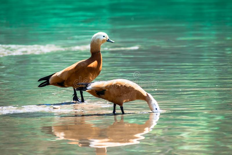 Brown golden duck couple foraging blue water. White head brown orange duck couple foraging in river ganga blue water uttarakhand india tourism royalty free stock images