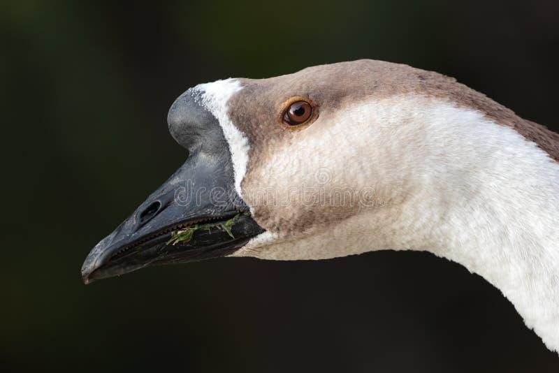 Brown Goose Stock Photo