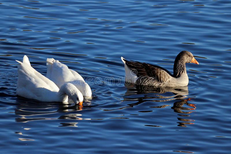 The Brown Goose stock images