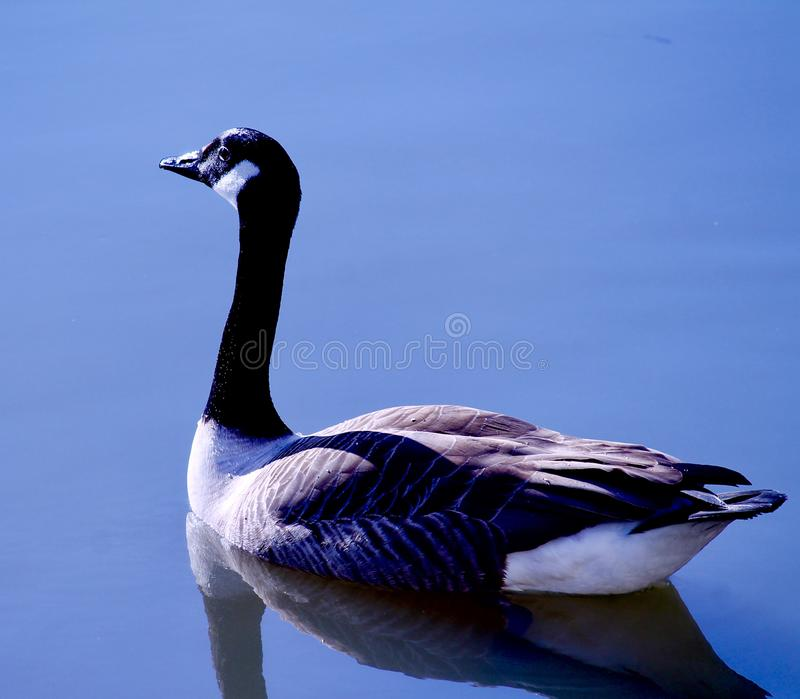 Brown Goose in still blue water in sun and reflection on beak royalty free stock images