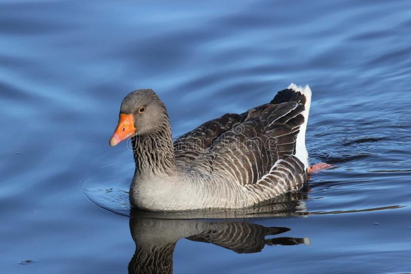 Brown Goose stock photos