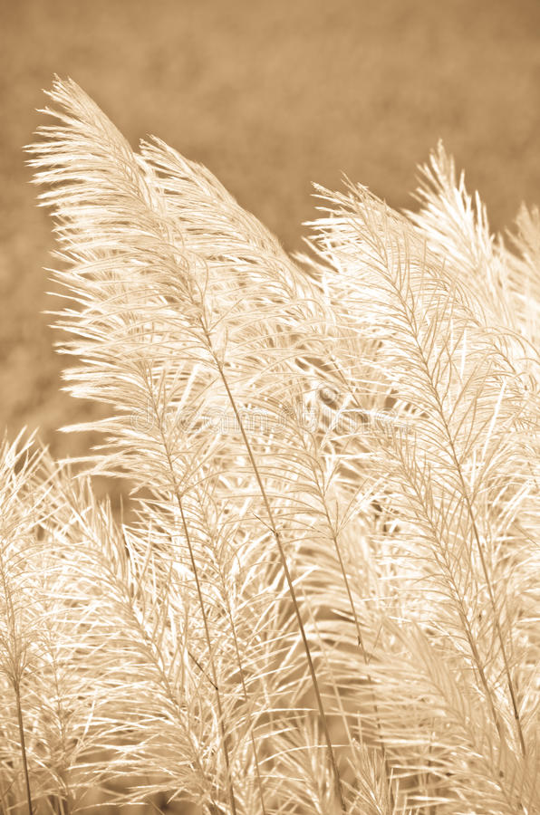 Brown grass flower. At relax morning time stock photography