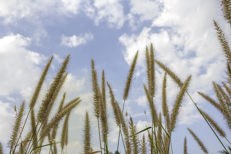 Brown grass flower that can see the blue sky with many clouds.  stock image