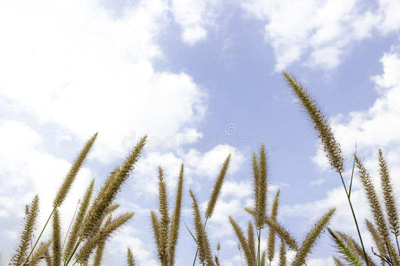 Brown grass flower that can see the blue sky with many clouds.  stock photos