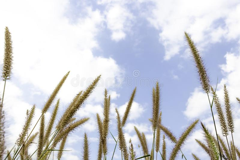 Brown grass flower that can see the blue sky with many clouds.  royalty free stock photo