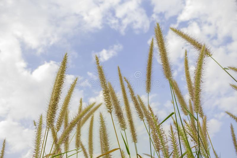 Brown grass flower that can see the blue sky with many clouds.  royalty free stock photos