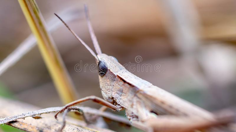Brown grasshopper camouflage with its surroundings royalty free stock photography