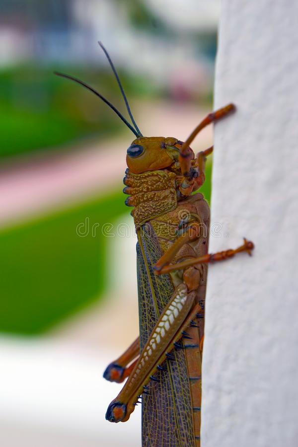 Brown grasshopper close up. Big brown grasshopper lobster walking over a white wall, mexican grasshopper living near the beach at the caribbean, insect in colors stock photo