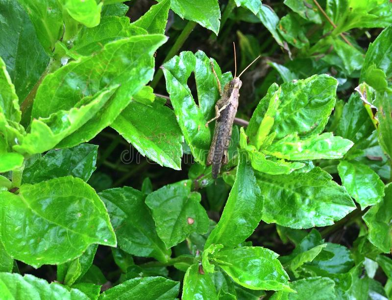 Brown grasshopper on green leaves royalty free stock images