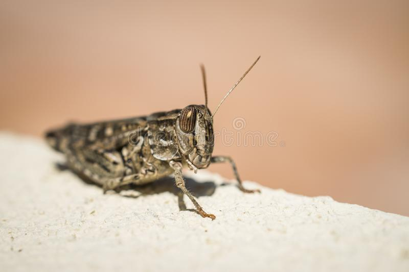 A Brown Grasshopper. A macro shot of a brown grasshopper on a wall stock photo