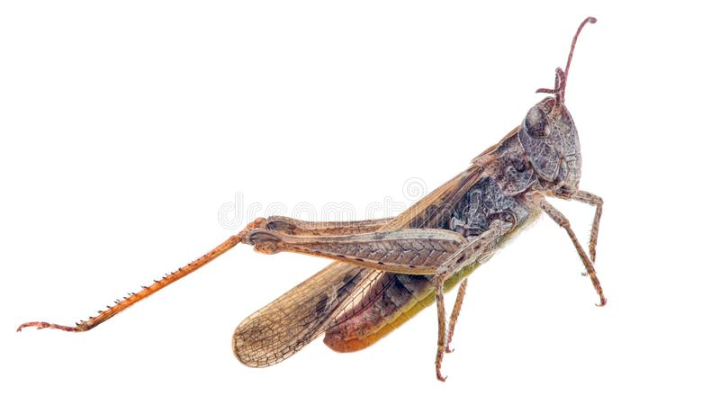 Brown grasshopper on white. Brown grasshopper isolated on white background royalty free stock images