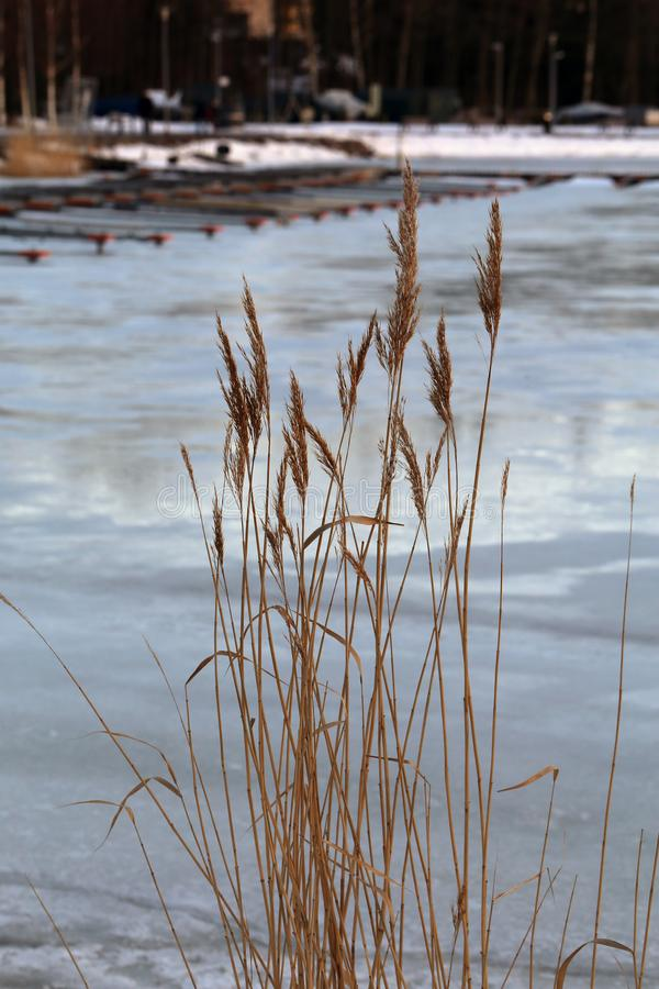 Brown Grassy Plants and Frozen Baltic Sea during Early Fall in Finland. Brown grassy plants growing trough frozen surface of Baltic Sea near the coast of Espoo royalty free stock photo