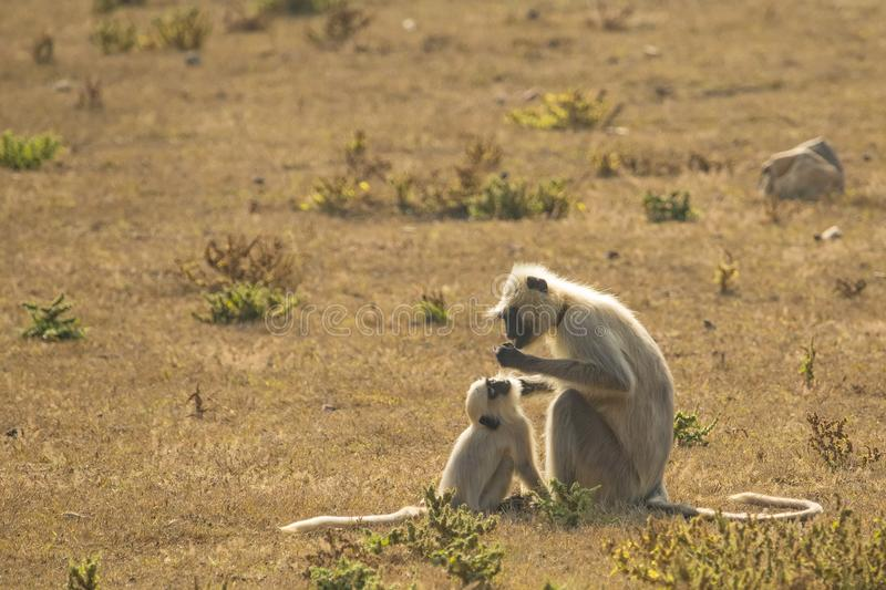 Gray Langur Mother and Baby, Preening Behavior. On the brown grassy savanna, a gray and white mother Gray Langur monkey eats whatever she found after grooming stock photos