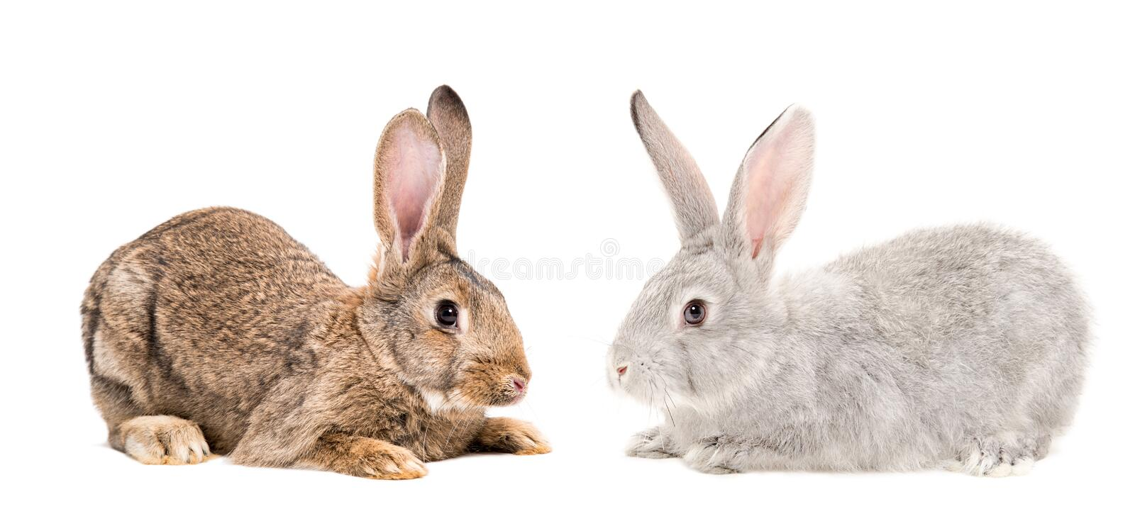 Brown and gray bunnies sitting together. Isolated on white background royalty free stock photography